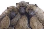 baboon-buddies