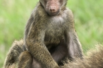 baboon-riding-mother