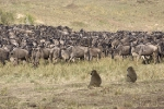 baboons-watching-migration