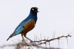 7951-superb-starling