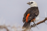 7980-white-headed-buffalo-weaver