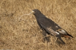 auger-buzzard-eating-snake-8995