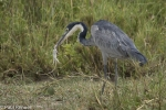 blue-heron-eating-lizard