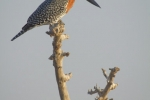 giant-kingfisher-3282