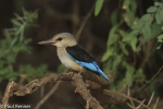 grey-headed-kingfisher-9799