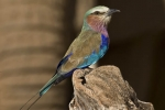lilac-breasted-roller-2