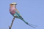 lilac-breasted-roller-7172