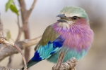 lilac-breasted-roller-7232