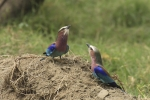 lilac-breasted-rollers-courting-7009