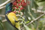 variable-sunbird