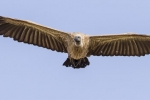 whiet-backed-vulture-7002
