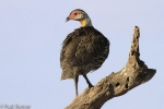 yellow-necked-spurfowl-4415