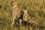 CheetahCubClimbingOnMother