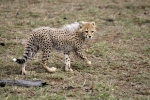 CheetahCubWalking