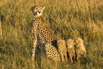 CheetahFamily2