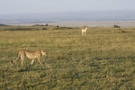 CheetahWalkingNearGazelle