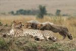 CheetahWithTwoCubsinMara