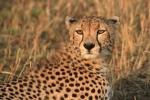 CheetahinMasaiMara
