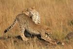 CheetahsStrechingandyawning