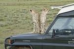 CheetahsonCar