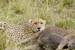 CheetahwithWildebeest