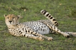 cheetah-in-the-masai-mara-25