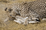 cheetah-kill-0349
