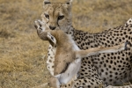 cheetah-with-kill-0352