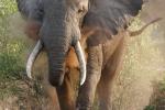ElephantBlowingDust