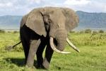 ElephantBull