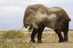 ElephantBullDusting