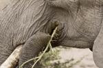 ElephantEatingAcaciaThorns