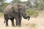 ElephantResting