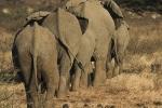 ElephantTails