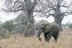 ElephantandBaobabTrees