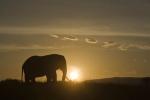 ElephantatSunrise