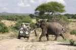 ElephantonSafari