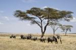 ElephantsCrossingTheSerengetiPlains