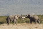 ElephantsFighting