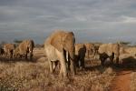ElephantsLedByMatriarch