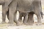 ElephantsProtectingNewbornBaby