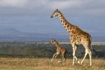 BabyGiraffesFirstMorningRun
