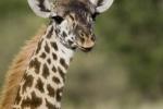 BabyMasaiGiraffe