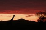 GiraffeAtSunrise