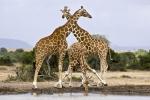 GiraffeAtTheWatringHole