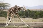 GiraffeAtWaterHoleKenya