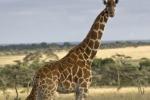 GiraffeBabyandMother