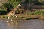 GiraffeCrossingUasoNyiroRiver