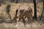 GiraffeFighting