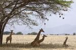 GiraffeResting